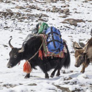 chapurson yak goods
