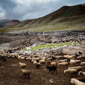 shimshal cattles